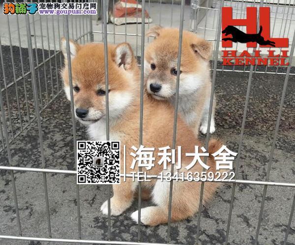 健康质量保证 犬舍直销纯种柴犬 品相好