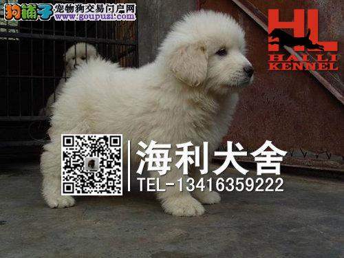 柳州哪里有卖大白熊犬 柳州纯种大白熊犬多少钱一只