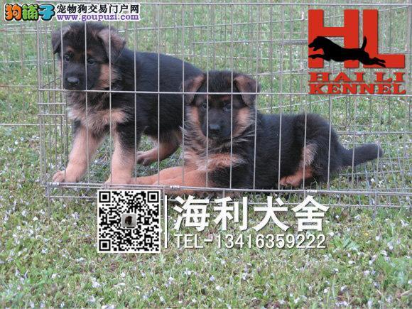 柳州哪里有卖德国狼狗 柳州德国狼狗多少钱一只