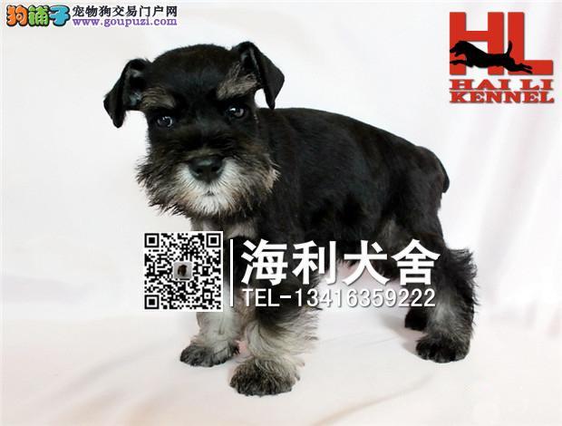 柳州哪里有卖雪纳瑞犬 柳州纯种雪纳瑞犬多少钱一只