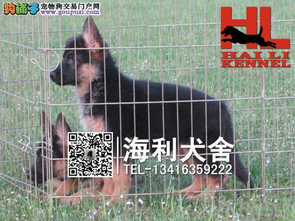 桂林哪里有卖狼狗 桂林纯种狼狗多少钱一只