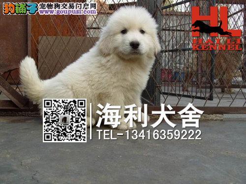 桂林哪里有卖大白熊犬 桂林纯种大白熊犬多少钱一只