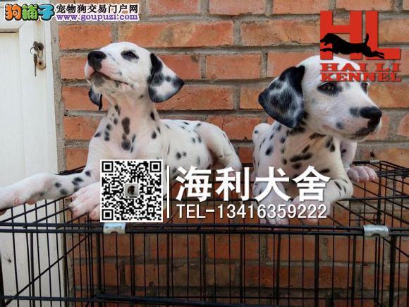 梧州哪里有卖斑点狗 梧州纯种大麦町犬多少钱一只