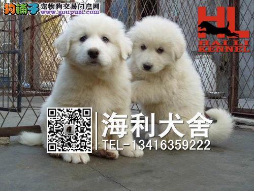 梧州哪里有卖大白熊犬 梧州纯种大白熊犬多少钱一只