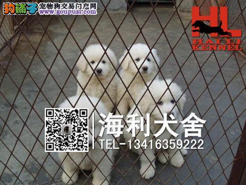 北海哪里有卖大白熊犬 北海纯种大白熊犬多少钱一只