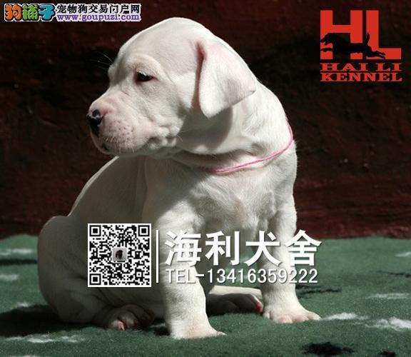北海哪里有卖杜高犬 北海杜高犬多少钱一只