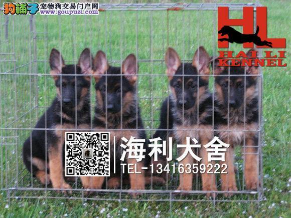 防城港哪里有卖狼狗 防城港纯种狼狗多少钱一只