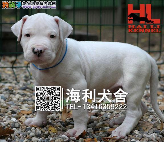 防城港哪里有卖杜高犬 防城港杜宾犬多少钱一只