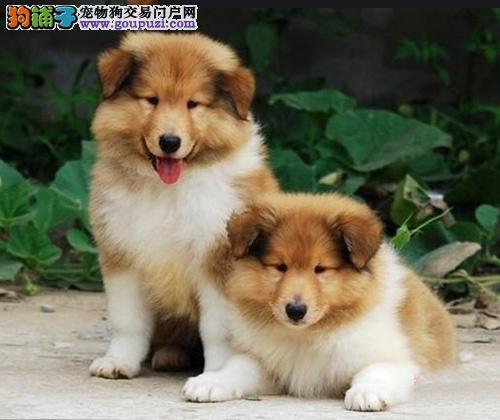 纯种苏格兰牧羊犬幼犬,三针齐全保健康,提供养狗指导