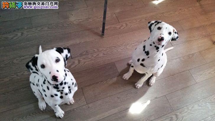 纯血统斑点狗幼犬 精心繁育品质优良 质保健康90天