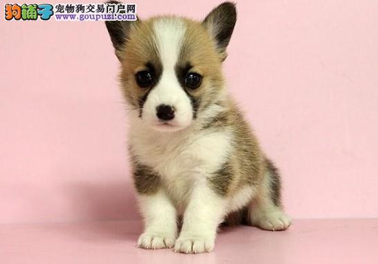 柯基犬价格_柯基犬多少钱?
