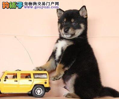 公母均有的柴犬找爸爸妈妈我们承诺终身免费售后