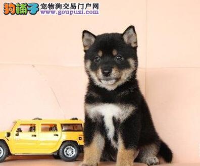 赛级柴犬幼犬,一宠一证视频挑选,当天付款包邮