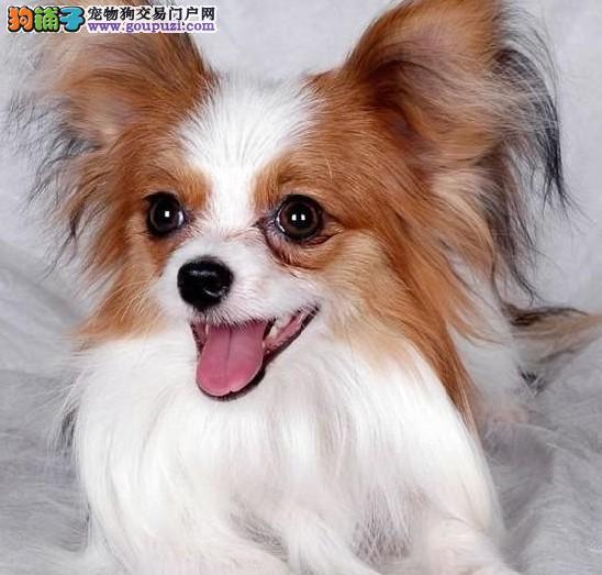 蝴蝶犬自家繁殖出售中蝴蝶狗狗