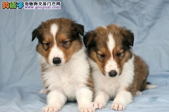 出售极品苏牧幼犬完美品相市内免费送货