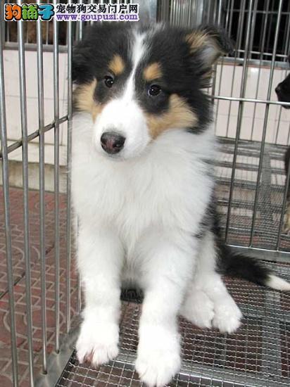 CKU认证犬舍 专业出售极品 苏牧幼犬全国当天发货