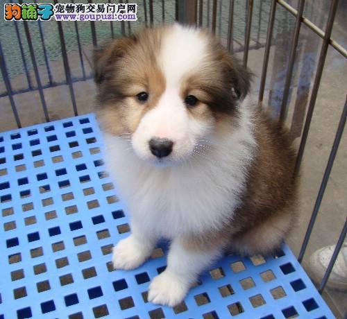 纯种苏格兰牧羊犬宝宝出售[两个月公母全有]