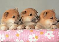 咸阳自家狗场繁殖直销柴犬幼犬保证冠军级血统