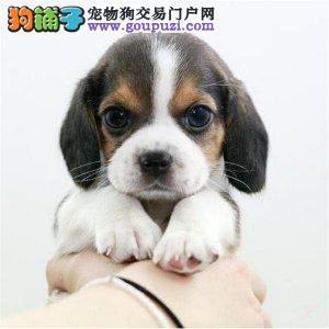 CKU认证犬舍 精品比格 签署购犬协议。。