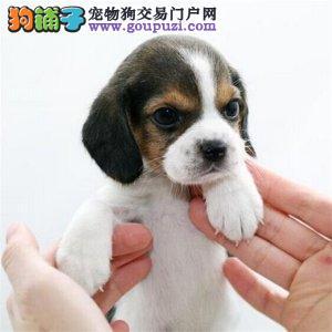 繁殖基地售顶级双冠纯种比格幼犬健康质保