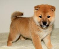 颜色全品相佳的柴犬纯种宝宝热卖中终身售后协议