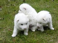 狗场繁殖纯种银狐犬幼犬 漂亮的宠物犬欢迎你上门挑选