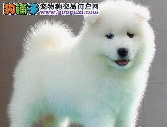 出售纯种微笑天使萨摩耶 广州附近可视频可上门购买