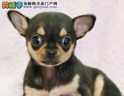 直销纯种苹果头品质吉娃娃 血统纯欢迎来广州犬舍挑选