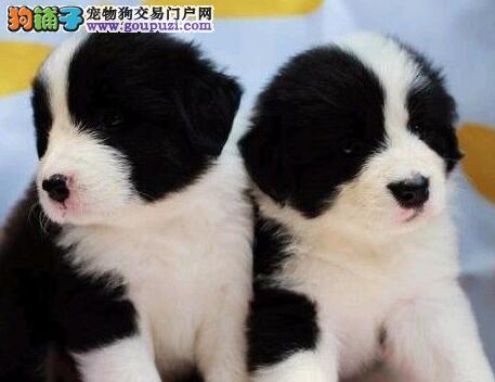 苏州什么地方卖的边境牧羊犬苏州边境牧羊犬图片