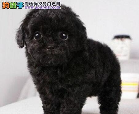 北京出售纯种贵宾犬 贵族生活在一只贵宾犬开始
