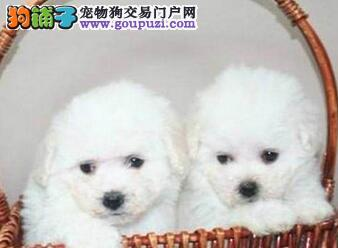 极品卷毛比熊犬广州犬舍出售 保证狗狗健康保证纯度