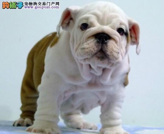 福州正规犬舍繁殖出售斗牛犬 双血统包健康 欲购从速