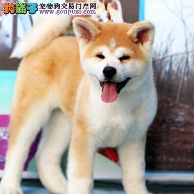 温州大型培育中心直销日系秋田犬 保证品质和售后