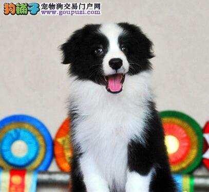 广州哪里有卖边牧 广州哪里可以买边牧