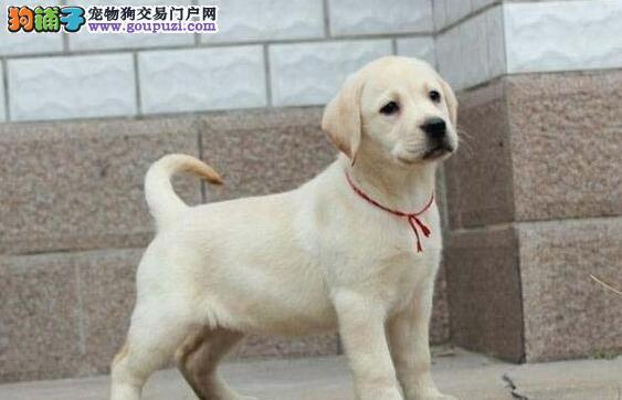 温州繁殖基地出售赛级双血统的拉布拉多犬 放心选购