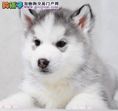 深圳哪里有卖哈士奇 深圳纯种哈士奇幼犬价格