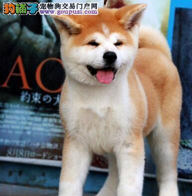 温州最大培育中心售顶级秋田犬 上门可见狗父母
