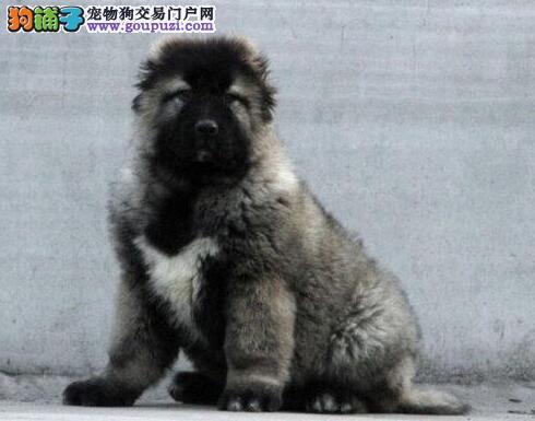 特价转让极品俄系重庆高加索犬 可签署终身质保协议