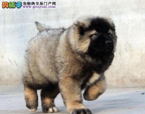 狼青色熊版高加索天津火爆销售 选择专业 选择放心