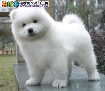 高品质萨摩耶幼犬,低价热销保健康,三包终生协议