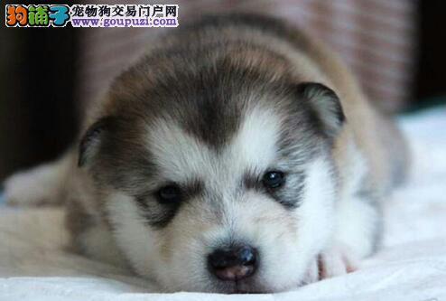 纯正血统的温州哈士奇低价出售 可随时上门选购犬