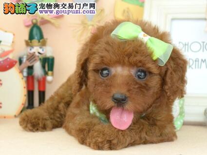 重庆贵宾犬出售包纯种健康三个月可爱聪明的贵宾犬