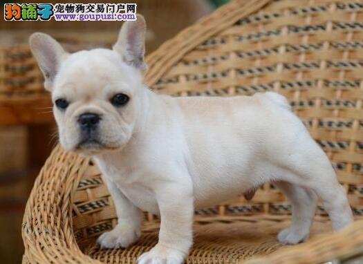 北京CKU认证犬舍出售高品质法国斗牛犬微信看狗真实照片包纯