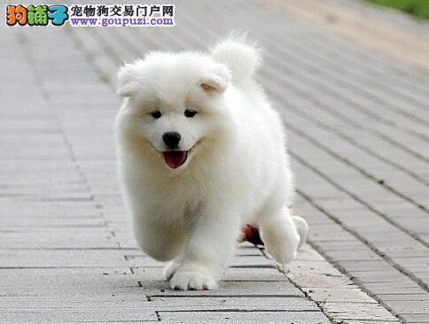 正规狗场售雪白色没有任何杂毛的温州萨摩耶 欲购从速
