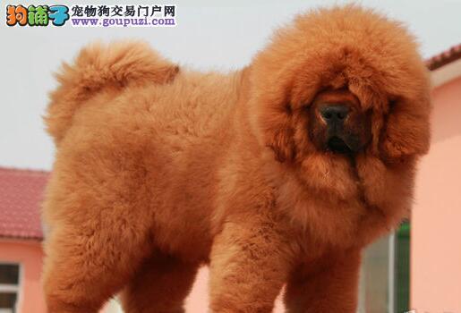 武汉獒园售纯种健康的藏獒 大狮子头铁头包金血系