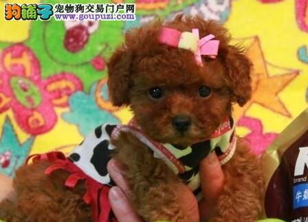 温州正规犬业直销品相好纯血统贵宾犬 公母均有签协议