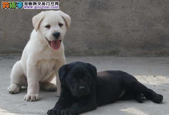 拉布拉多北京CKU认证犬舍自繁自销微信咨询看狗狗照片