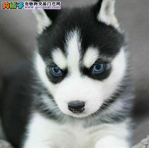 西安犬舍出售纯种哈士奇品相好健康蓝眼三火