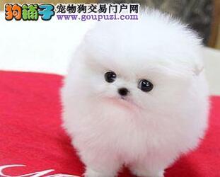 家养球形体西安博美犬转让带血统包活包售后