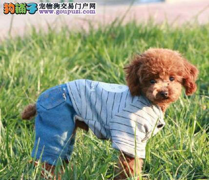 东莞专业狗场热卖精品泰迪犬质量保证包养活